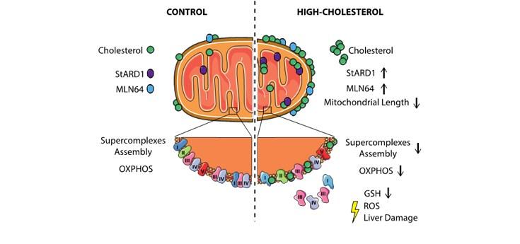 funcion del colesterol en la membrana celular
